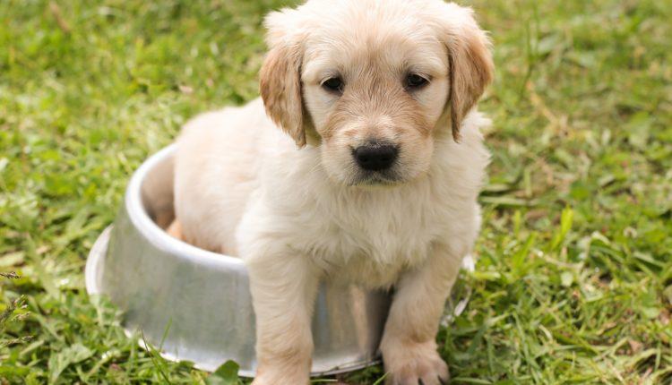 halitoza-câine